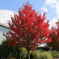 Redpointe® Red Maple